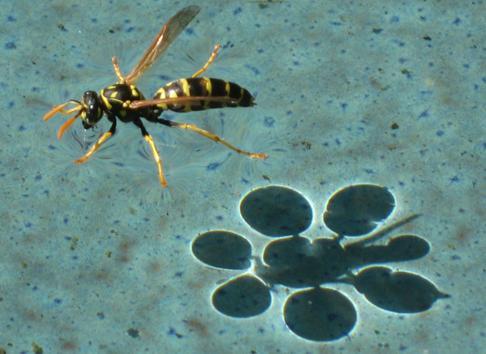 Wespen am Wasser © Eppinger
