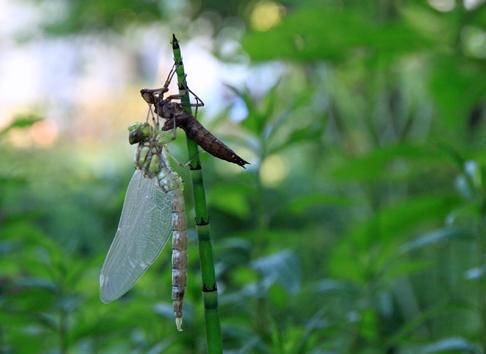 Schlüpfende Libelle © Michael Eppinger 2019