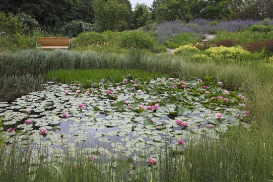 garten_nuertingen_braike3_Seerosen im Teich