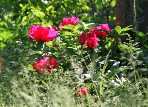Pfingstrose im Garten Eppinger